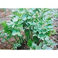 Inicio Jardín de plantas 30 Semillas de apio de monte de hierbas medicinales de la herencia Levisticum Officinale Semillas de plantas Maggie
