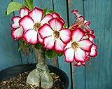 Tropica - Sukkulenten - Wüstenrose - 8 Samen