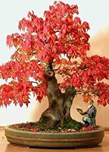 Tropica - Bonsai - acero rosso (Acer rubrum) - 20 semi