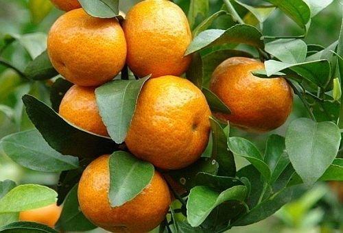 Citrus reticulata - mandarinier - 5 graines