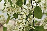 Felsenbirne, Felsenmispel, Amelanchier rotundifolia - Im 3lt. Topf, Höhe 60-100cm (2er-Set)