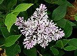 Flieder violette Blüte Koreanischer Zwergflieder Syringa patula Miss Kim Containerware 40-60 cm hoch