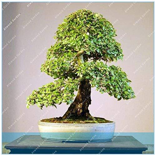 IDEA HIGH Samen-ZLKING Chinesische Ulme Bonsai Baum Neue Frische Woody Staude Outdoor Garten Mini Ulmus Pumila 50 Teile/beutel