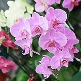 Orquídea Natural - Phalaenopsis - Maceta 12cm. - Altura aprox. 60cm. - Planta viva - (Envíos sólo a Península)
