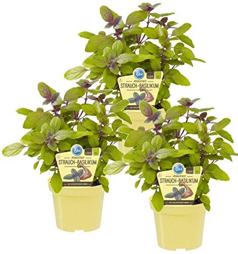 Bio Robustes Strauch-Basilikum (Ocimum kiliman. x basilicum), Kräuter Pflanzen aus nachhaltigem Anbau (3 Pflanzen, je im 12cm Topf)