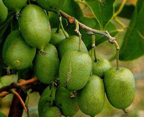 10 Mini Cocktail Kiwi Samen eigene Kiwi Ernte selbstfruchtend schnellwüchsig