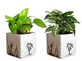 #4: Rolling Nature Combo of Good Luck Air Purifying Live Money Plant and Syngonium Green Plant in White Square Aroez Ceramic Pot