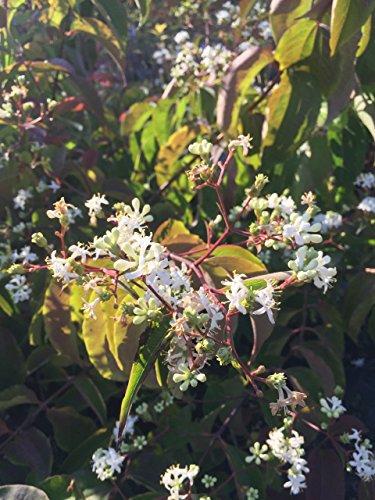 Sieben-Söhne-des-Himmels-Strauch 40-60 cm Strauch für Sonne-Halbschatten Zierstrauch weiß blühend Gartenpflanze winterhart 1 Pflanze im Topf