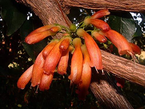 15 Samen | Halleria Lucida | Baumfuchsie | Sehr seltene Tropische Pflanze Baum-Samen