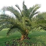 #9: Creative Farmer Dwarf Date Palm Seeds Ornamental Tree Date Palm Seeds Palm Seeds Seeds Kitchen Garden Seeds Pack