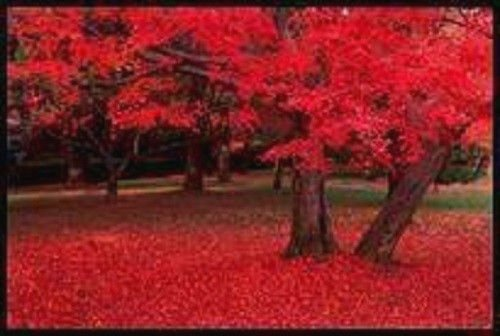 25 semi Carolina rosso scarlatto Acero Acer Rubrum