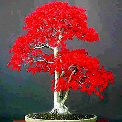100% Semi Vero giapponese acero rosso bonsai economici Professional Service Pack Molto bello interne dell'albero 50 Semi / Batterie