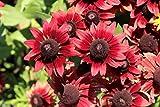 Sonnenhut 'Cherry Brandy' 20 Samen, Rudbeckia -Seltene und erstaunliche Vielfalt