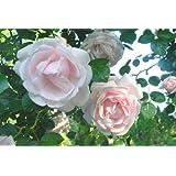 Vivai Le Georgiche Rosa New Dawn
