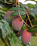 Nelesa Gardening Live Sweet Sundari Mango Plant 1.5 Feet + Height