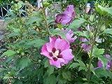 Hibiscus syriacus 'Pink Giant' - (Hibiskus - Garteneibisch 'Pink Giant')- Containerware 60-100 cm