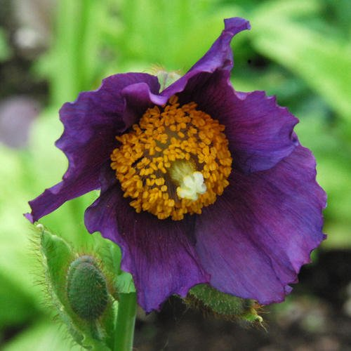 meconopsis-hansol-violet-30-seeds-poppy