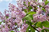 Blauglockenbaum im Kleincontainer Größe 50 bis 80 cm