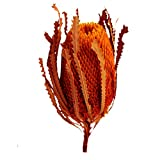 Banksia Hokeriana orange 10 Stück Trauerfloristik Allerheiligenfloristik Grabgesteck
