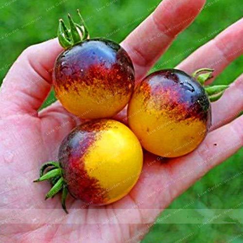 Bloom Green Co. Bonsai tomate savoureux Noir Jaune Tomate Légumes bio Plat Bonsai culture facile Bonsai Plante en pot 100 pièces: 4