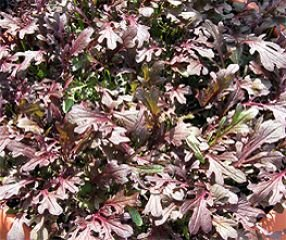 Bobby-Seeds BIO-Salatsamen Purple Frills, Blattsenf Portion