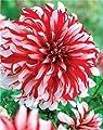 Schmuck Dahlie Santa Claus Knolle Blumenzwiebeln von Blumenhandel Ullrich bei Du und dein Garten