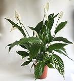 AIRY Einblatt Zimmerpflanze - Spathiphyllum - Natürlicher Luftfilter für spürbar gesünderes Raumklima - Passend zum innovativen AIRY Pflanzentopf (17cm breit)