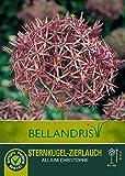 mgc24 Zierlauch Allium Blumenzwiebeln Frühjahrsblüher Sortiment