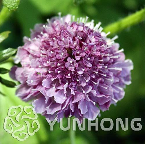 Bloom Green Co. 100PCS New Hausgarten Pflanze Bonsai Scabiosa Atropurpurea Sauce Doppel Lila/Rot-Blumen-Bonsais: 7 Blume-sauce