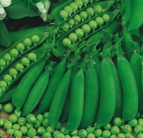 Erbse Samen (JustSeed - Gemüse - Erbse - Petit Pois Waverex - 200 Samen)