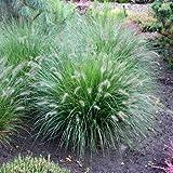 Lampenputzergras 'Hameln' - Pennisetum alopecuroides 'Hameln' - Ziergras