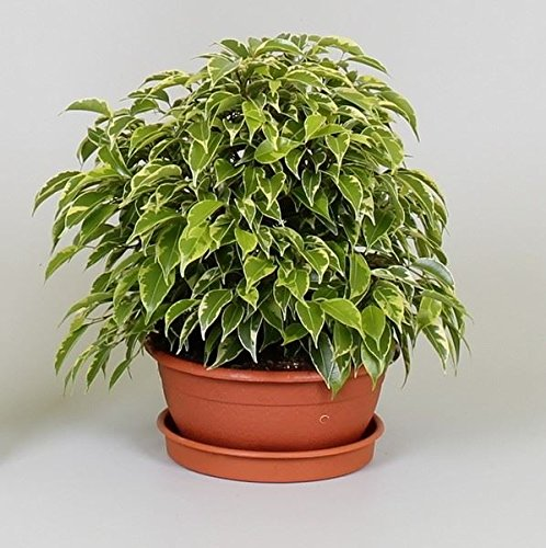 ficus-benj-kinky-houseplant-in-a-17cm-pot-weeping-fig