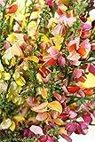 Fiore - Ginestra - Gypsy Mix - 125 Semi - Confezione Grande