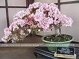 10PCS Rare Sakura Bonsai Fiore Cherry Blossoms Fiore di ciliegio Bonsai Piante per la casa e Giardino Bonsai