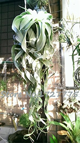 100pcsBonsai graines graines ananas Succulent mini-purificateur d'air graine de Tillandsia d'air SeedsAndPlants & amp; Jardin 100 / Pack