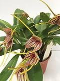 1 blühfähige Orchidee der Sorte: Masdevallia peristera x (triangularis x caloptera) , traumhafte Orchidee vom deutschen Züchter