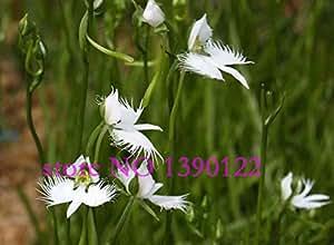 100 Stück selten Winkel Orchidee der Welt seltene Blume