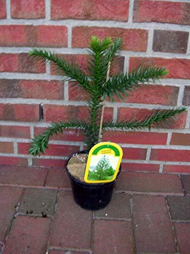 Araucaria araucana, Höhe: 60-70 cm,Schmucktanne, Affenbaum, Affenschaukel, Andentanne, winterharte Pflanze + Dünger