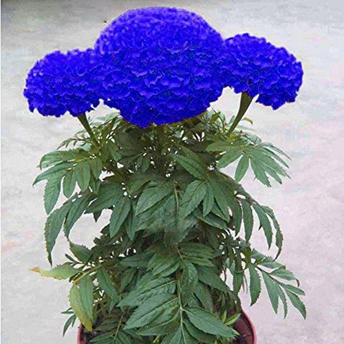 SZhsks Blaue Ringelblume Samen Bonsai Chrysantheme Blume Gartenpflanze Hof Dekor - 200 Stck