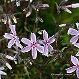 Teppichphlox, Phlox sub. 'Kimono Pink-White'