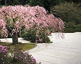 japanische zierkirsche (prunus serrulata) 5 Samen