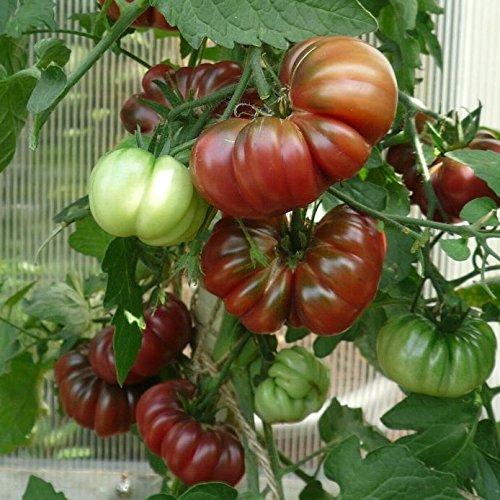 10 Samen Cherokee Purple Tomate – alte Indianersorte, sehr gut im Geschmack