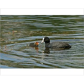 Media Storehouse 10x8 Print of Eurasian Coot -Fulica atra- adult bird with a chick, Mecklenburg-Western (12506049)