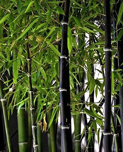 Soteer Garten - 100 Stück Exotisch Winterharter Bambus Samen 'Chinese Wonder' Roter/Goldener/Schwarzer/ 'Blue Dragon'/ Bambus Zierpflanzen mehrjährig für Ihre Garten und Haus Schwarzer Bambus