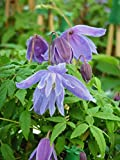 CLEMATIS PAULINE- Superb Personalised Gift Idea For Birthdays & All Occasions