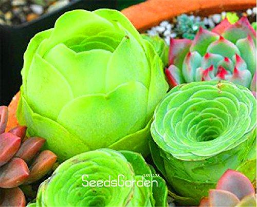 Bestseller! Hausgarten Pflanze 10 Stück Sempervivum Mix Sukkulenten Samen Seltene Blumensamen Gartenblumen für Raum, # X9XF3R