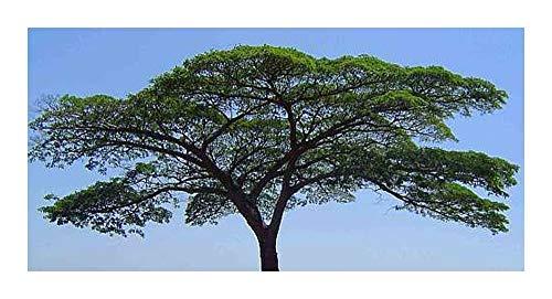 Albizia adianthifolia - Schirmakazie - syn: Albizia gummifera - 10 Samen