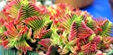 Crassula capitella - planta suculenta - 10 semillas
