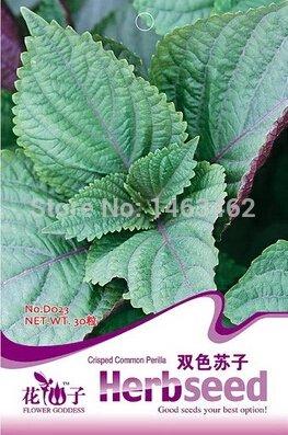 25pcs-semillas-de-arboles-de-gran-cantidad-de-semillas-de-podocarpus-yaccatree-arbol-arbustos-de-hoj