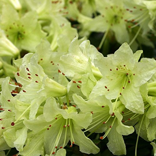 9cm-pot-dwarf-rhododendron-shamrock-chartreuse-yellow-garden-shrub